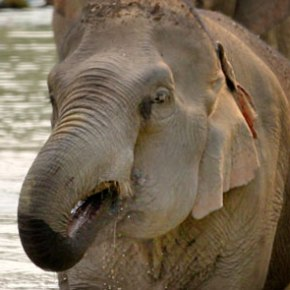 Pang Noi : Elephant of the Week at Boon Lott's Elephant Sanctuary BLES : Miss Little