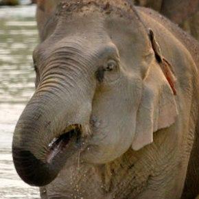 Pang Noi : Elephant of the Week at Boon Lott's Elephant Sanctuary BLES : Miss Little