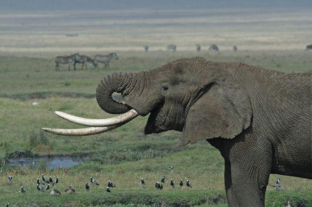 elephant-smiling-ele-tusks-image-wikipedia-1024px-tanzanian_elephant