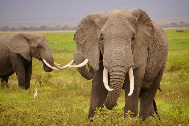 elephant-tusks-wild-elephants-pixabay