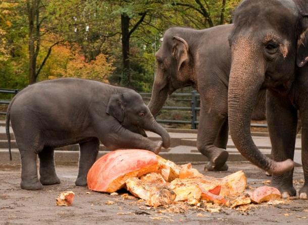 elephants-oregon-zoo-pumpkins-cc-flickr-ormetronews
