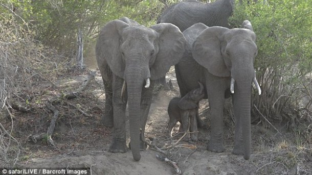 baby-elephant-just-hours-old-aunt-fang-image-daily-mail