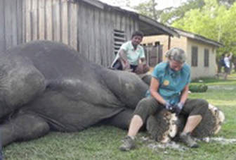 elephant-carol-buckley-caring-for-ele-toenails-cc-wiki-xwikipedia_trimming_feet_nepal_government_center1