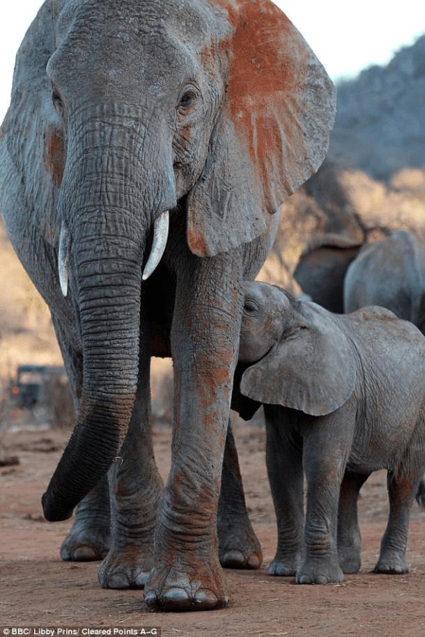 elephant-wendi-her-baby-wiva-dswt