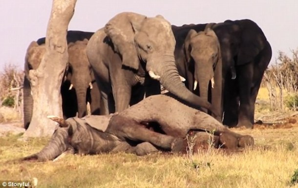 elephants-mourn-death-storyful-video-on-the-daily-mail