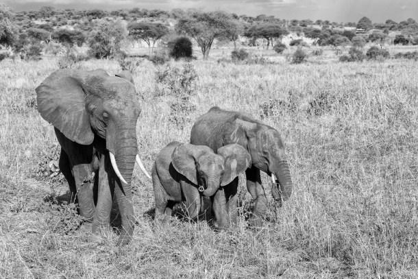 elephant family by virtualwayfarer cc flickr