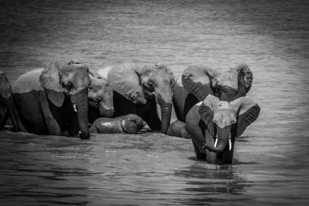 elephant herd crossing river virtualwayfarer aka alex berger cc flickr