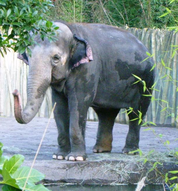 elephants Packy in 2006 Oregon_zoo_ google cc wiki.jpg