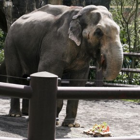 Remembering Our Sweet Packy : 14 April 1962 – 9 February 2017 : What You Knew & What You Never Knew About Packy the Elephant Who Was Euthanized at The Oregon Zoo, Age 54