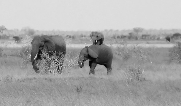 elephants 3 African BW nick@ cc flickr