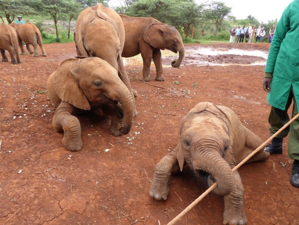 elephants CC Flickr by Regina Hart DSWT baby elelphant orphans one playing with stick