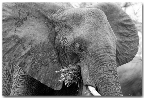 elephant close up snacking cc flickr by Deneys