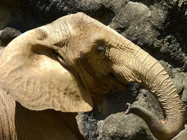 Mundi p r zoo elephant by damiandude cc flickr 16680758624_cdaf6e96f9_b