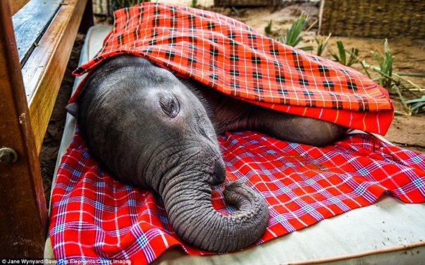 elephant Ewaso baby elephant rescue Daily Mail