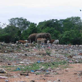 A Herd of Wild Elephants in Sri Lanka Face Serious Health Risks After Ingesting Toxic Plastic at Garbage Dump Which Has, Unfortunately, Become Their Favorite Foraging Spot