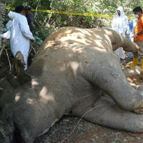 "Human – Elephant Conflict : Sumatran Elephant Discovered Dead on Palm Oil Plantation & Officials Fear Another ""Deliberate Poisoning"" of the Critically Endangered Species"