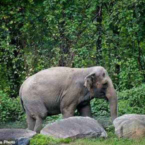 Isolated & Unhappy: Lawsuit Filed By Animal Welfare Group on Behalf of Happy the Elephant Aims To Release Her From the Confines of the Bronx Zoo