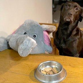 Piper the Dog Loves Her Stuffed Elephant Toy So Much She Refuses to Leave Home Without It : Watch Her Puppy-Joy For Life, Video Is Just Too Cute!
