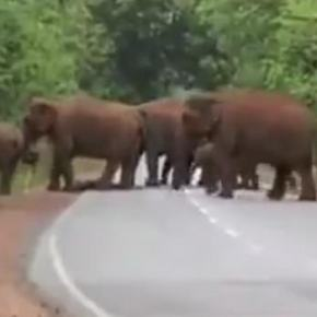 "Video Moment : Indian Elephants Display Human Emotions as Herd Seems to Be Walking in a ""Funeral Procession"" While Mother Elephant Struggles to Carry Her Dead Calf Across a Road"
