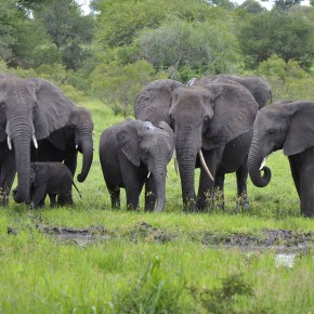 African Elephants Have Friends & Foes As CITES Vote Cannot Offer Complete Ban on Plucking Pachyderms From the Wild & Transporting Them to Lives of Misery in Captivity