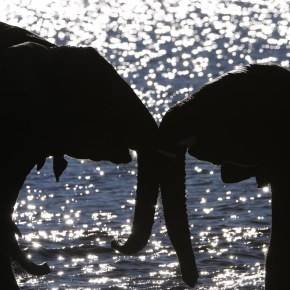 Video Moment : Elephants Under Threat of A Cull  from  The Long Walk Home  BBC Earth  Part 2