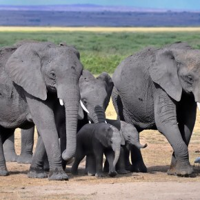 """The Task of Elephant Conservation: Encouraging News as Kenya's Elephant Population """"More Than Doubles"""" Since 1989 Yet We Are Cautioned as Human-Elephant Conflict Emerges as a """"Major Threat"""""""