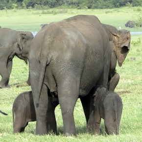 "Video Moment: ""One is Sleeping"" :  Sri Lanka Celebrates Summer Birth of Rare Twin Elephant Calves"
