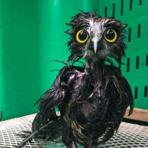 Having a Bad Feather Day? : Purple, the Rescued NZ Owl, is Transformed From Frazzled to Bedazzling After a Medicinal Shampoo Bath
