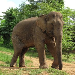 Pang Dow: Elephant of the Week at Boon Lott's Elephant Sanctuary – BLES: Lucky Star: Part 1