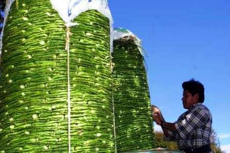 Mexikó - kaktusz levelek exportra előkészítve. Így könnyű!