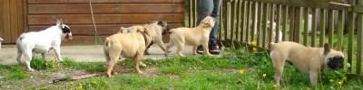élevage familial de chiens