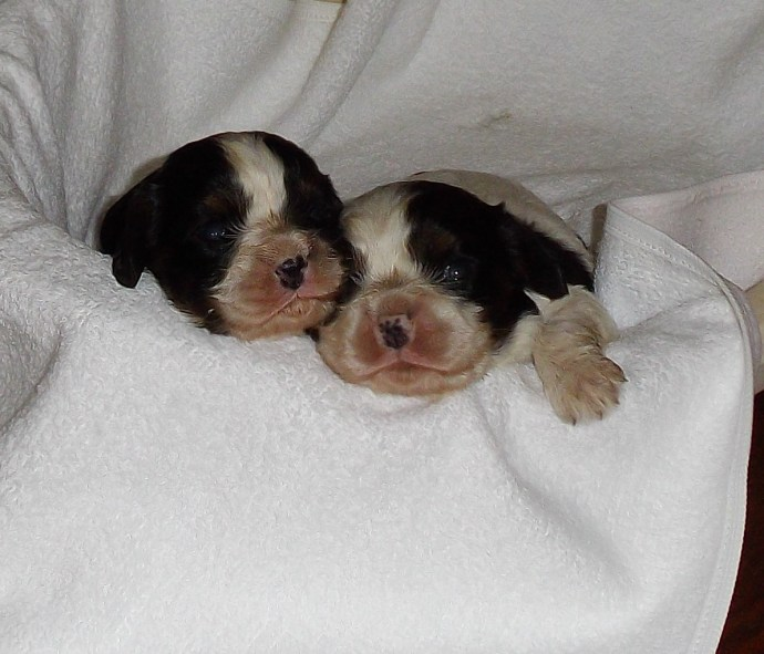 chiots cavalier king charles tricolore