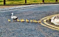 Evangelio apc Familia de patos