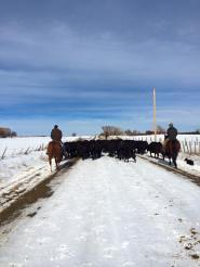 Long but fun day moving Schmitt Angus cows to different pastures.