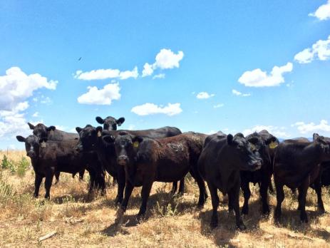 Cedar Mesa cows are always curious of any commotion.
