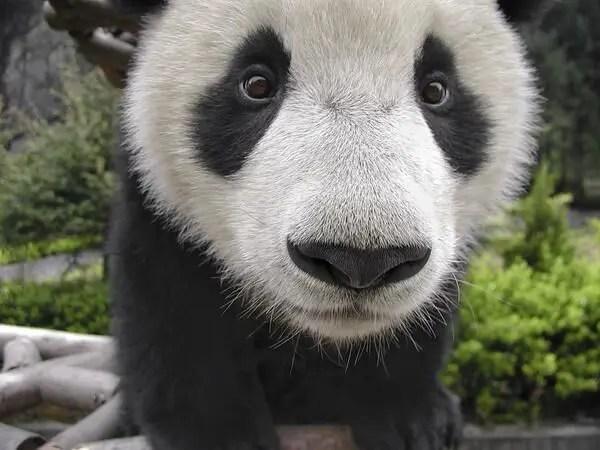 Este Panda experto posando para selfies es lo más #Farandi que verás hoy ? [Fotos]