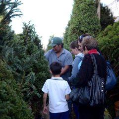 Este año se importarán 700 mil pinos para fiestas decembrinas