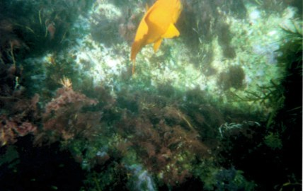 Fish like the Garibaldi were seen on snorkels.