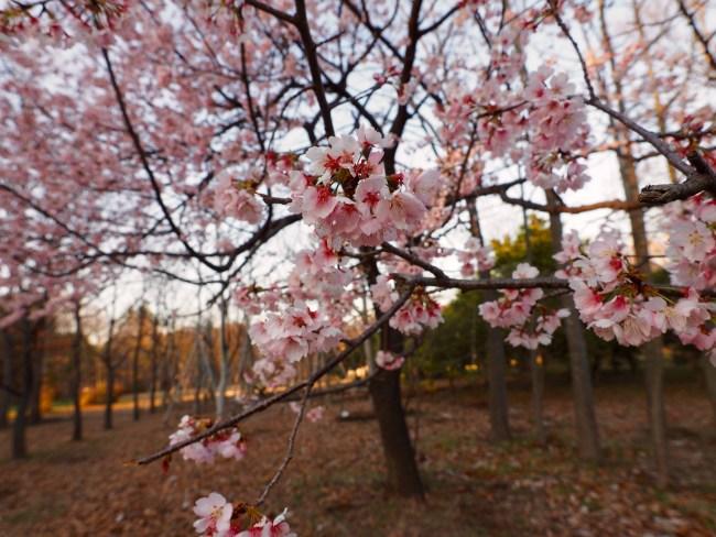 桜咲く、大寒桜8