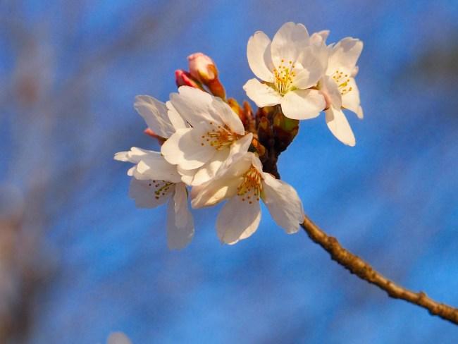 ソメイヨシノが開花しました13