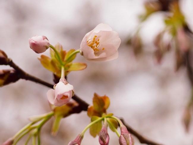 桜20160331-9