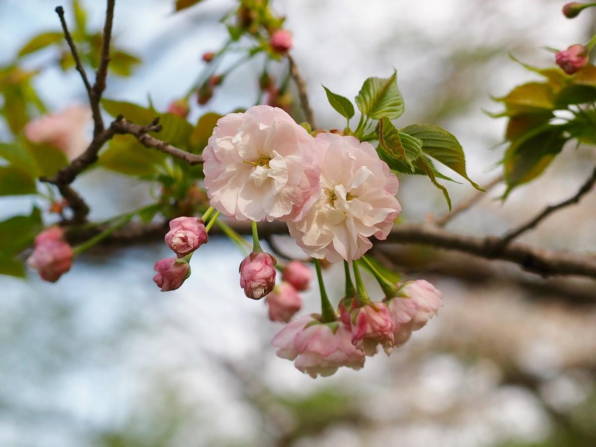 さくら百花繚乱、色とりどりに咲き始めました。その1