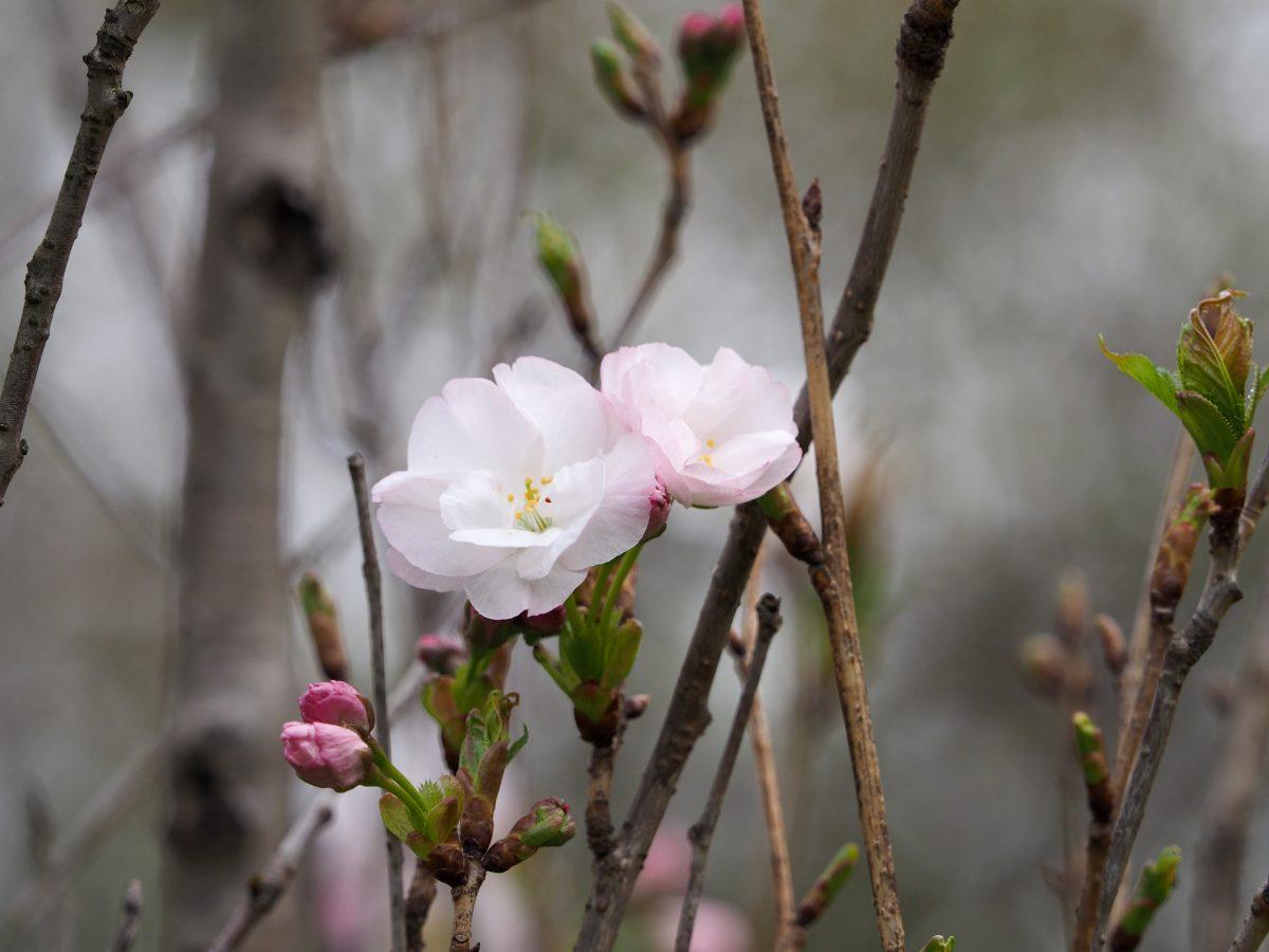 天の川・霞桜・鬱金・関山