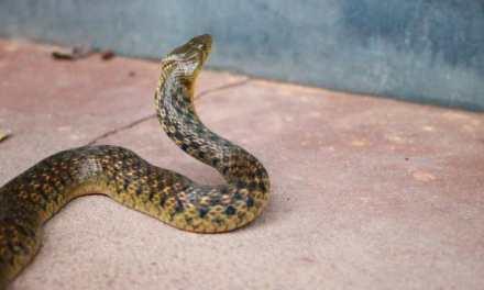Las mordeduras de serpiente, un problema de salud mundial
