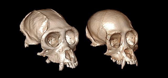 La reconstrucción de cráneos en 3D dilucida la evolución de los monos del Nuevo Mundo