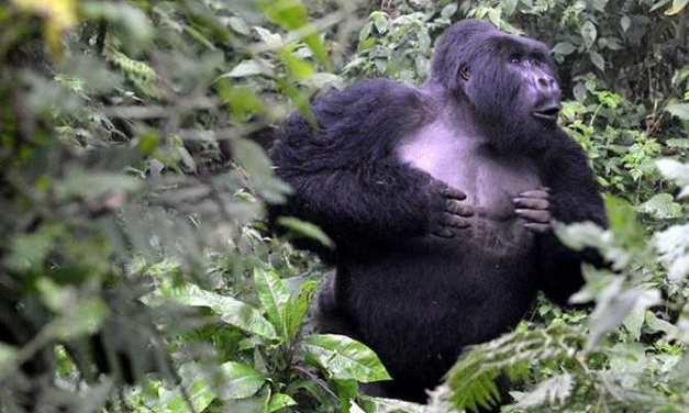 El significado oculto de los golpes en el pecho de los gorilas de montaña