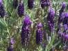 Lavender-Liquid-Donkey-milk-soap-150ml_04
