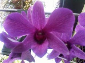 orquidea-detalle