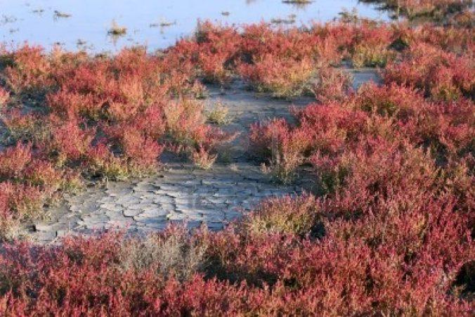 1558927-salicornia-rouge-d-39-automne-dans-des-marais-salants-la-camargue-sud-de-la-france