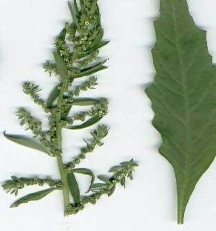 Propiedades y Beneficios del Paico (Chenopodium ambrosioides) – El ...